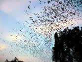 Пещера миллиона летучих мышей Ча Ам